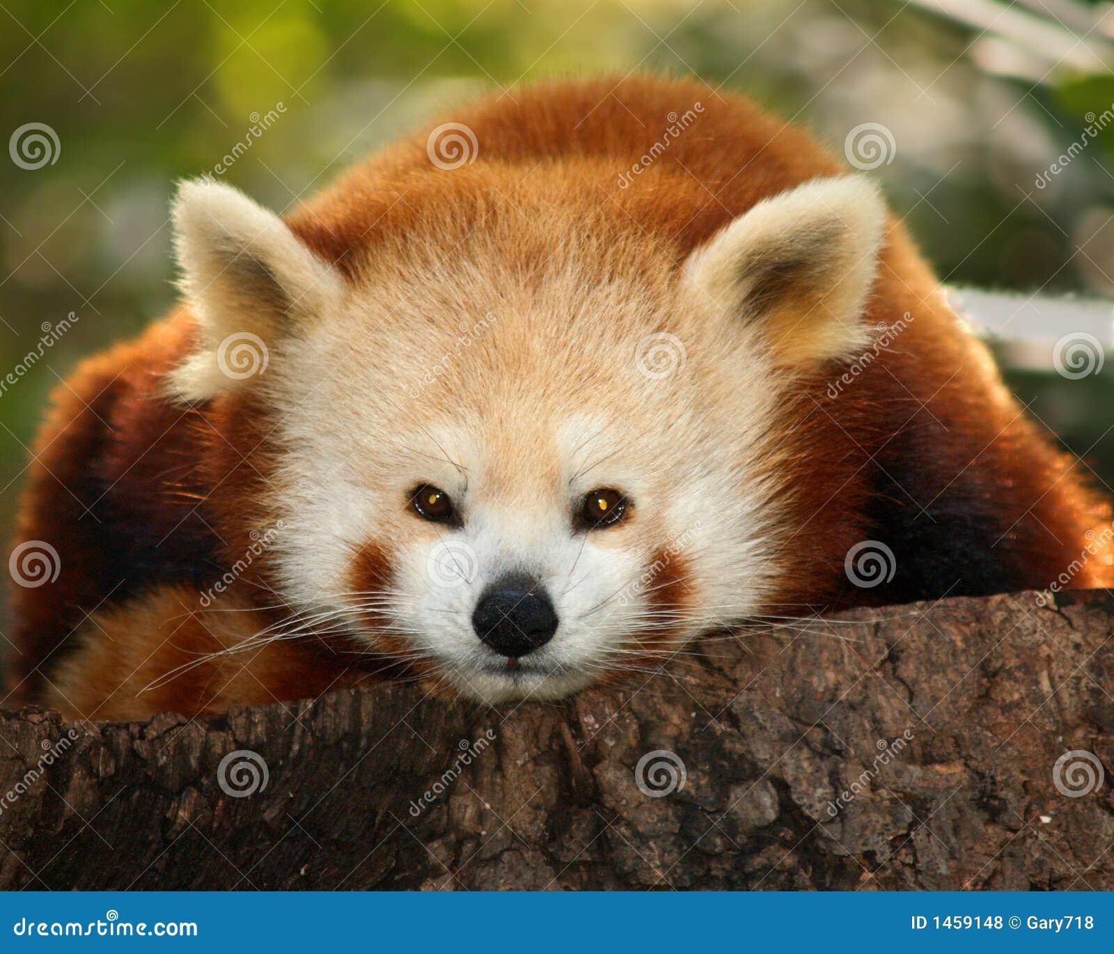 Uma panda pequena (firefox)