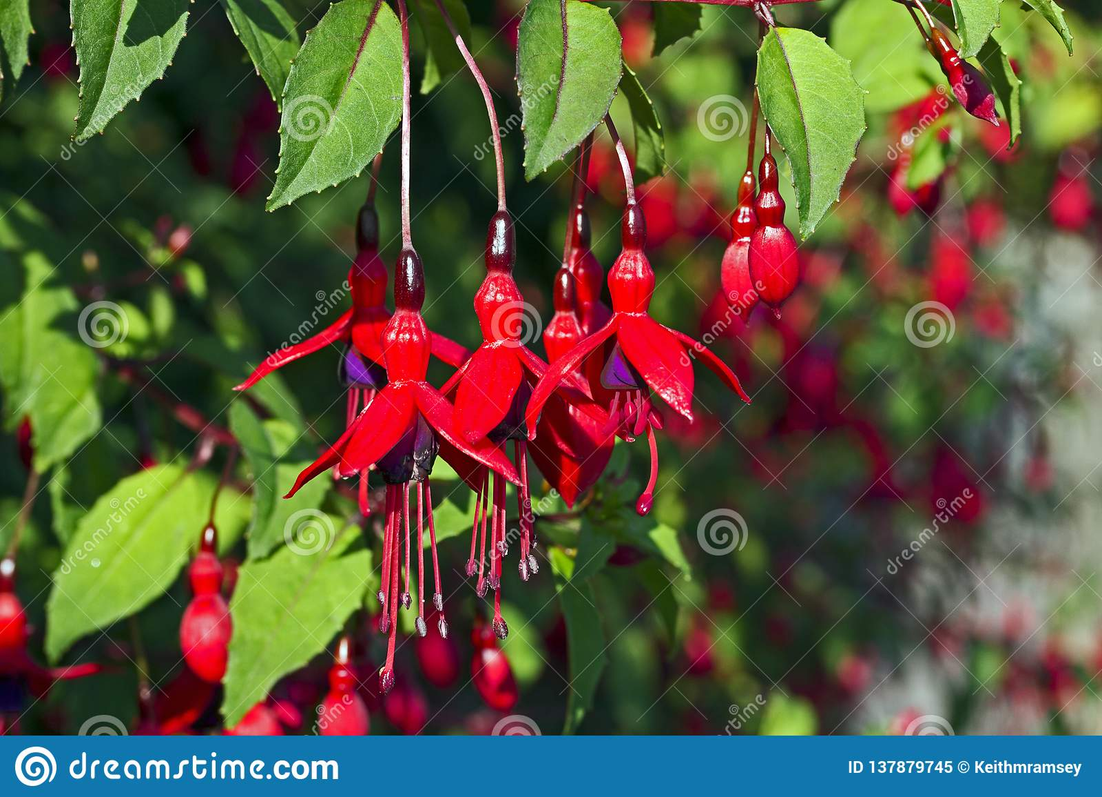 Uma planta fúcsia na flor