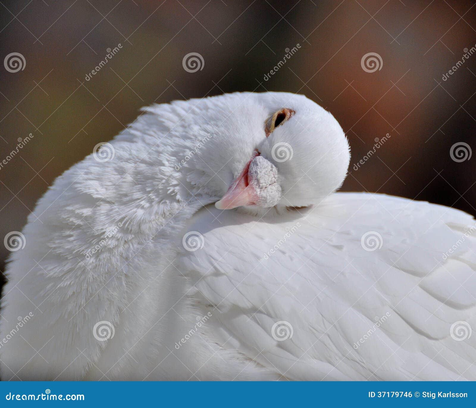 Uma pomba dormente do branco