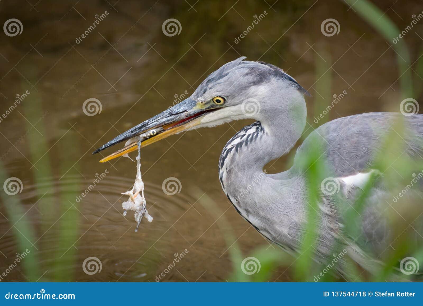 Uma posição cinzenta da garça-real em um rio pequeno e comer um peixe