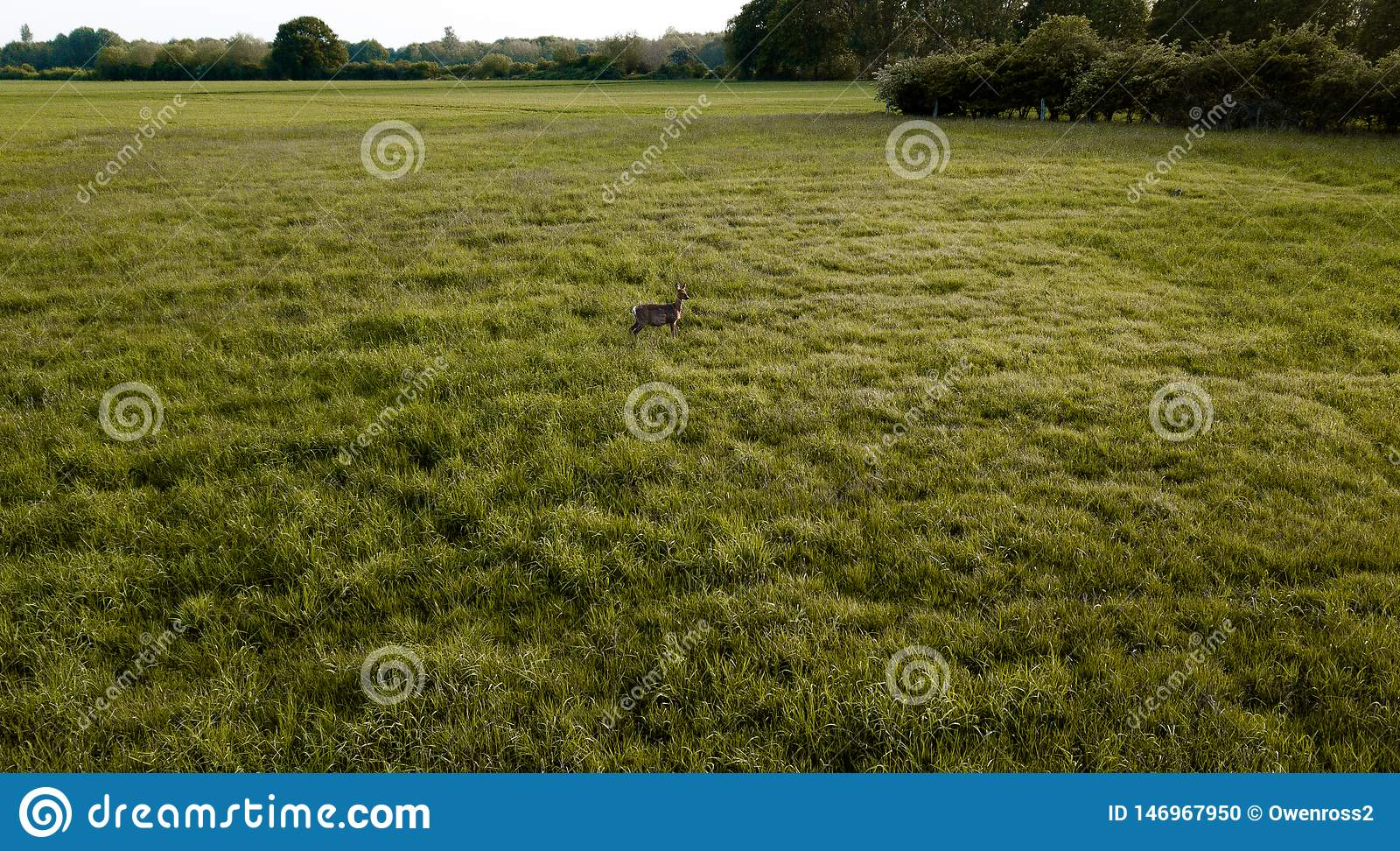 Uma posição dos cervos no meio de um campo verde