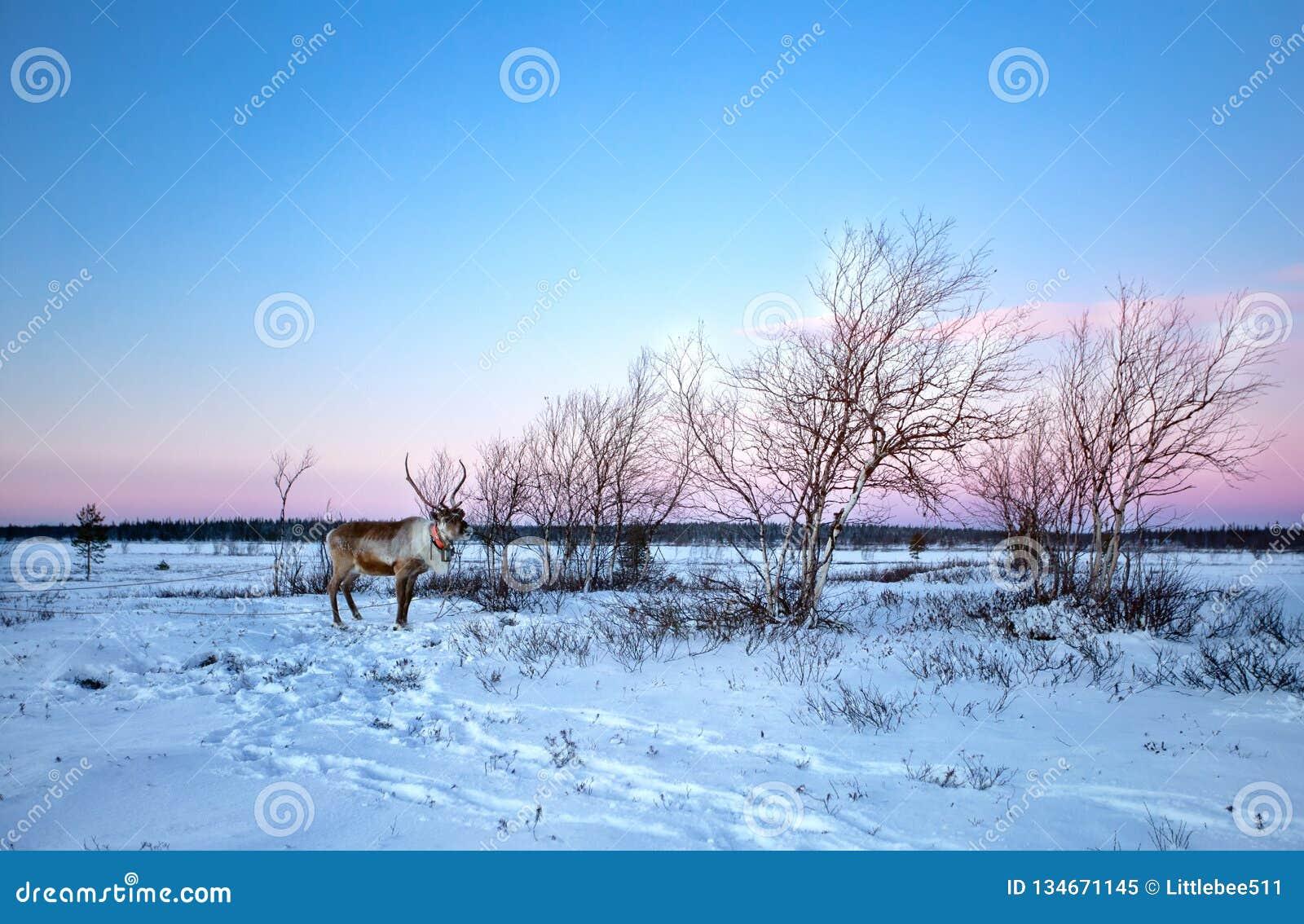 Uma rena que anda na neve em Lovozero, ao norte de Rússia