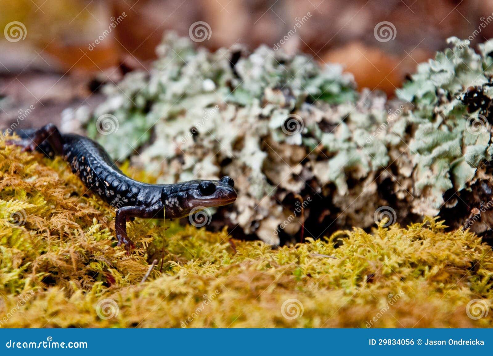 Salamandra viscoso
