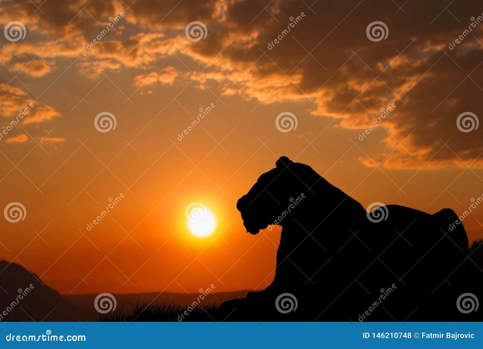 Uma silhueta grande do tigre O tigre é de descanso e de observação o ambiente Por do sol bonito e c?u alaranjado no fundo