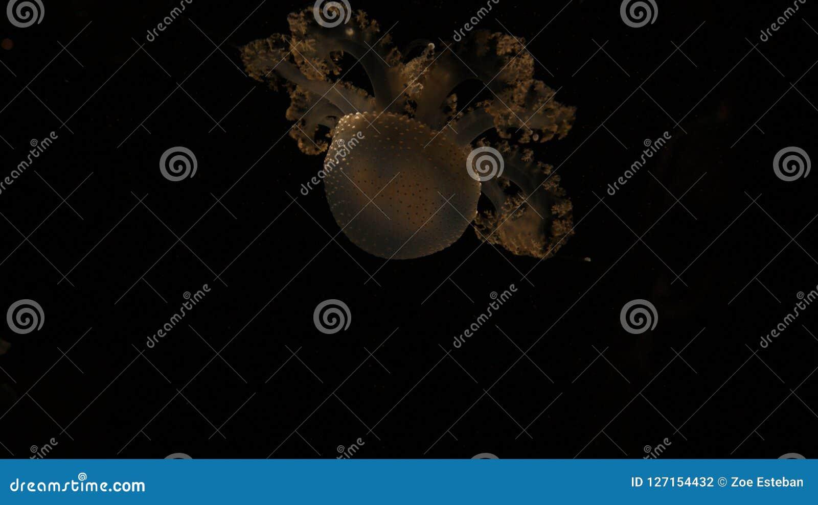 Uma somente medusa transparente amarela nas águas profundas do codl do preto escuro do mar Em um Aqurium