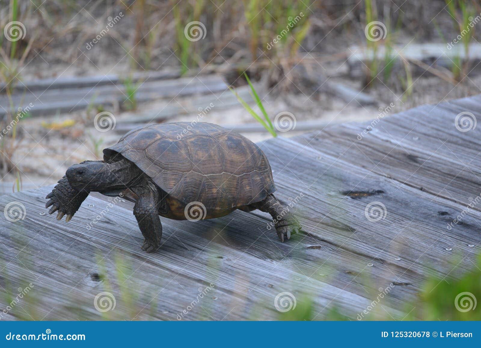 Uma tartaruga de caixa move-se rapidamente para seu ninho usando uma passagem da praia feita da madeira