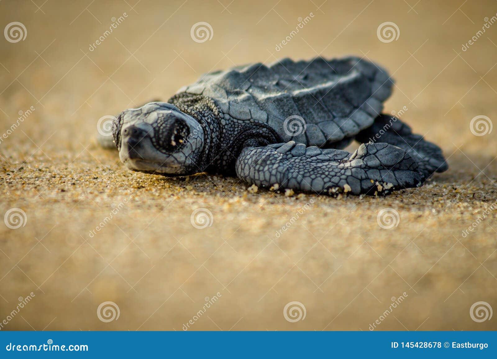 Uma tartaruga de mar do bebê esforça-se para a sobrevivência após o choque em México