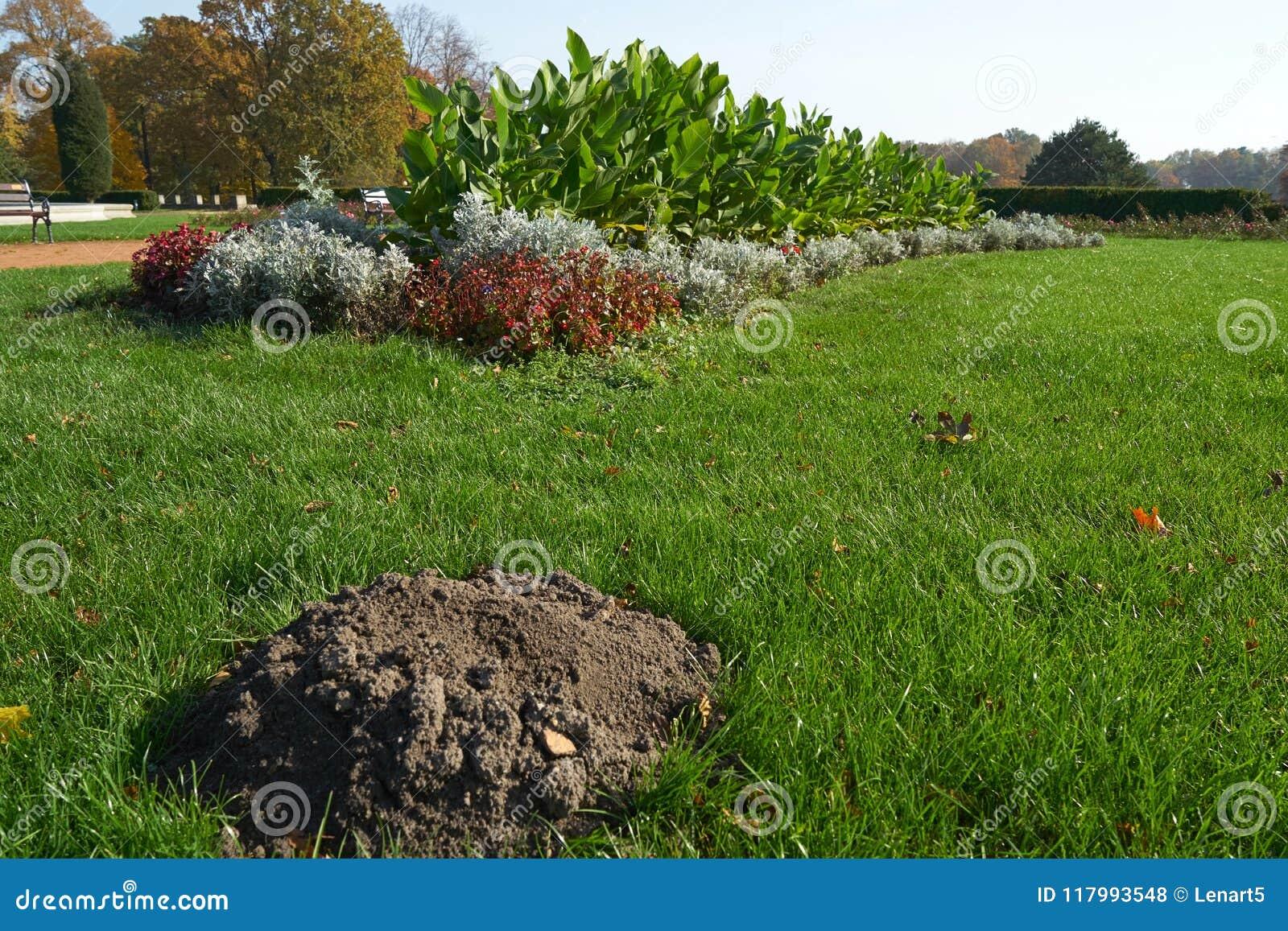 Uma toupeira da toupeira em um gramado bem conservado do parque