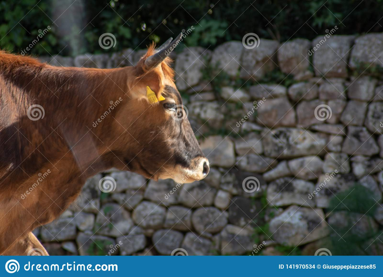 Uma vaca ao pastar