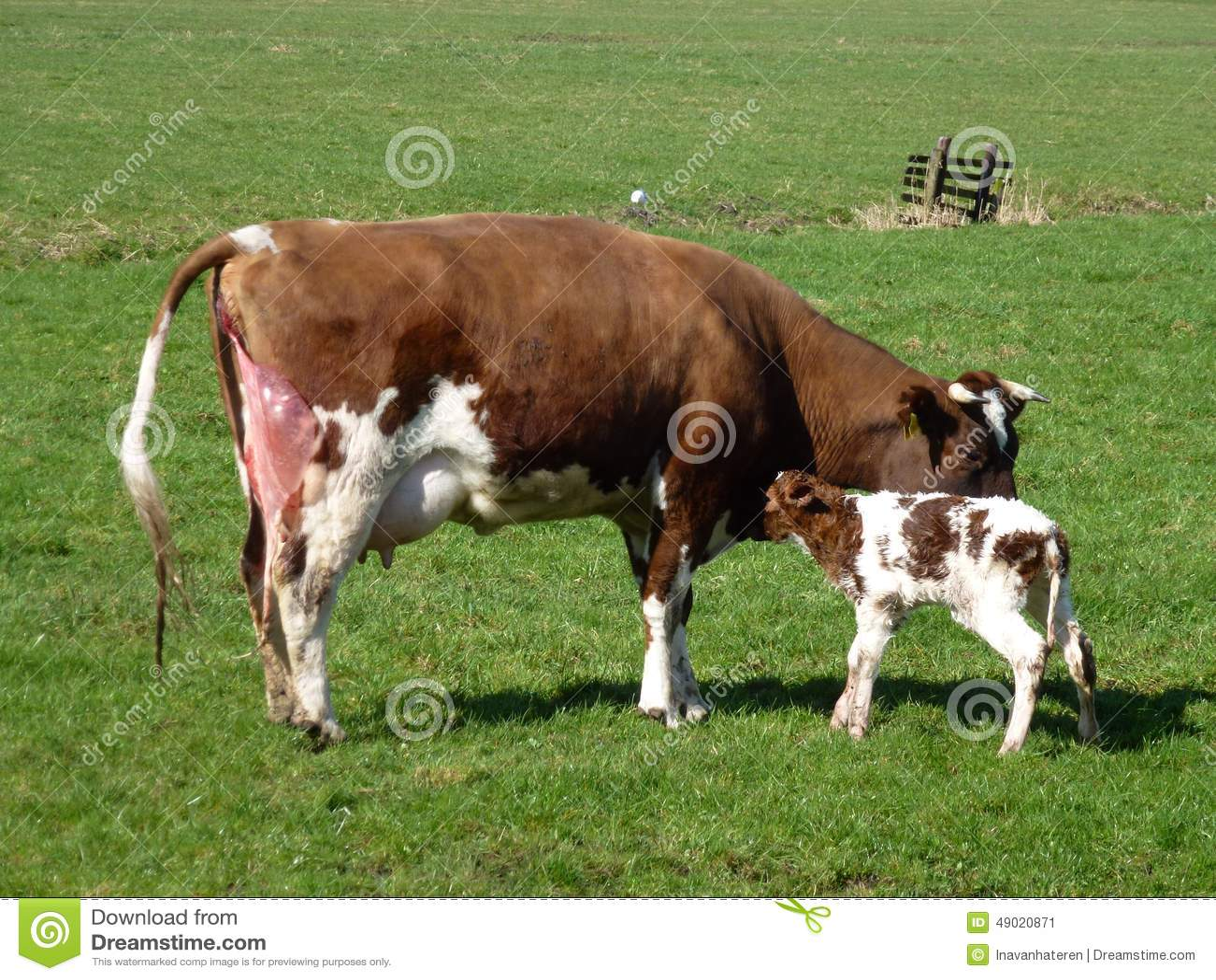 Uma vaca com uma vitela carregada justa