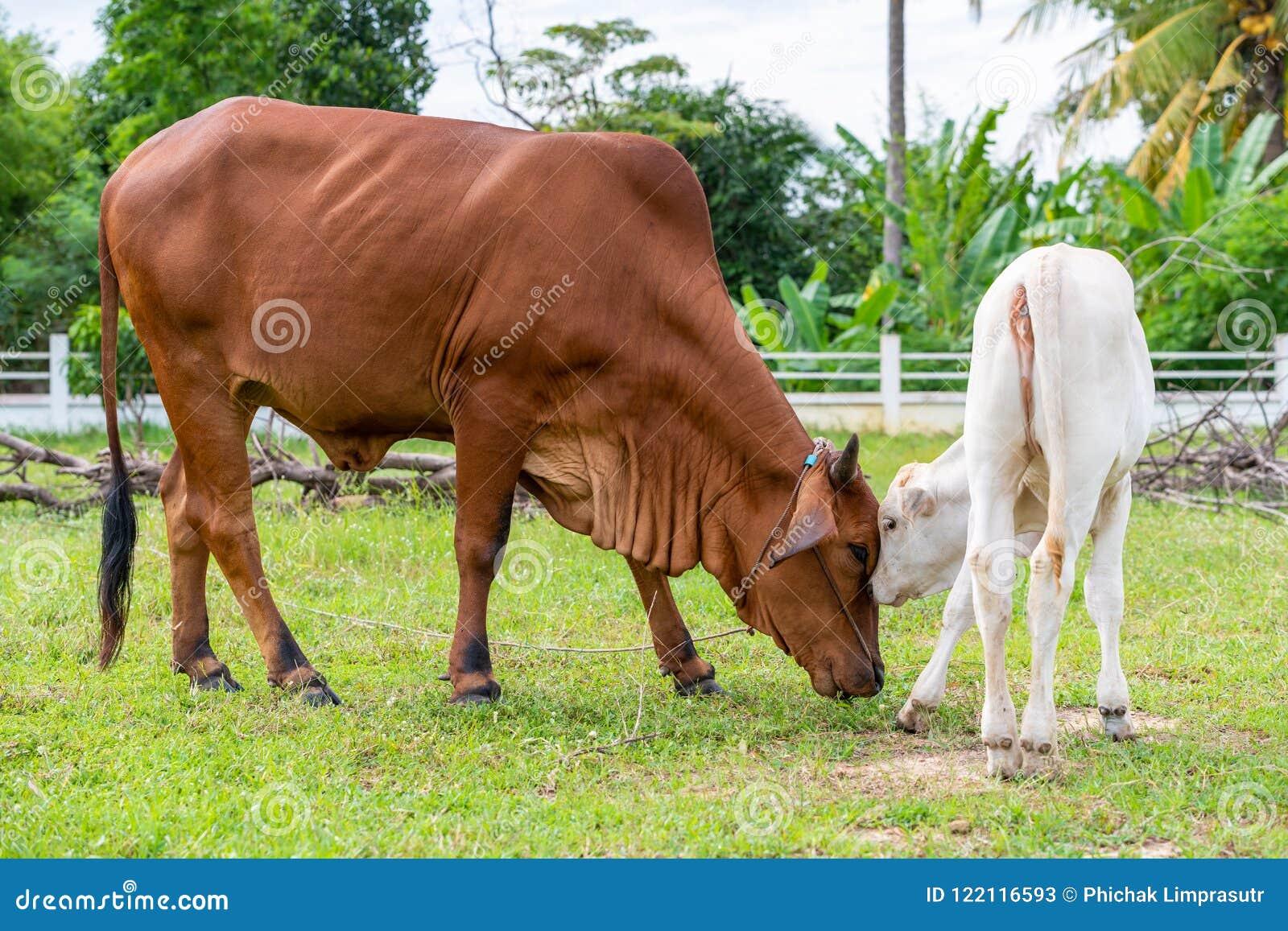 Uma vaca marrom do brahman que joga com sua vitela no campo