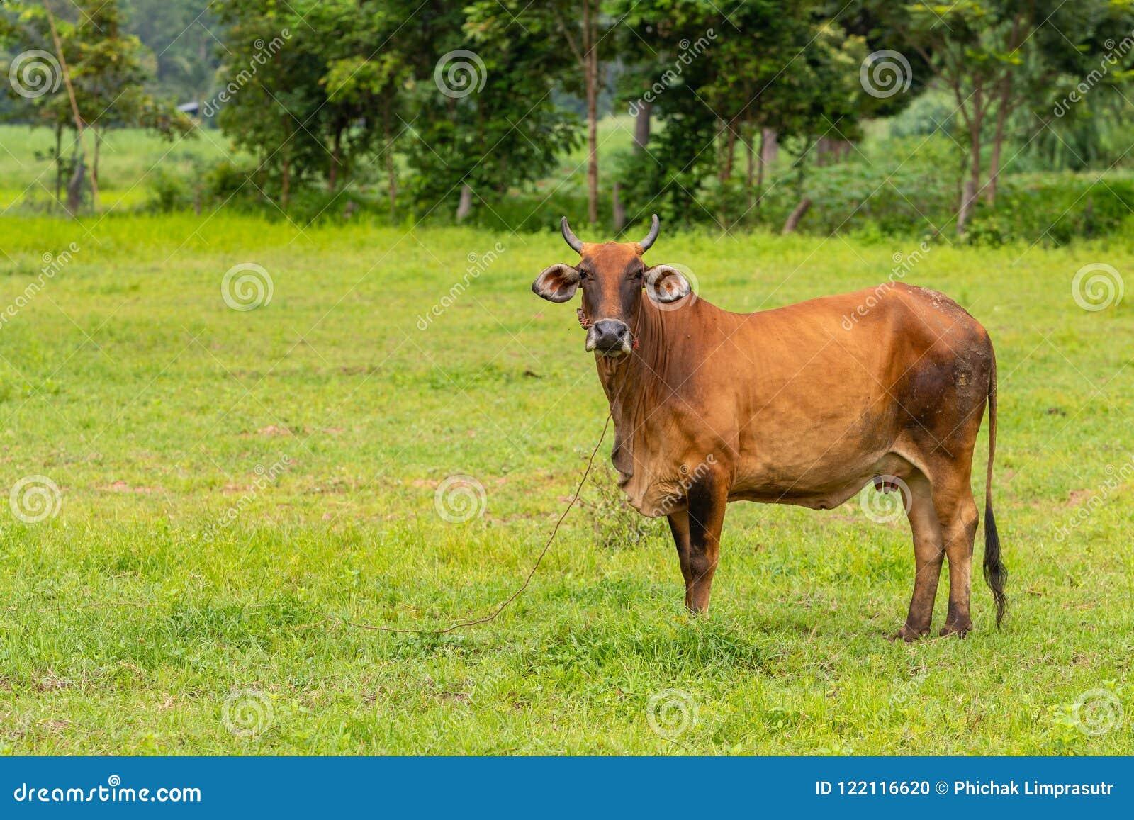 Uma vaca marrom do brahman que olha curiosamente a câmera