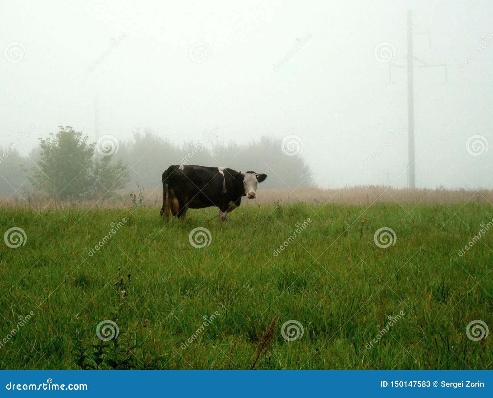 Uma vaca solitária pasta em um prado verde em uma manhã nevoenta