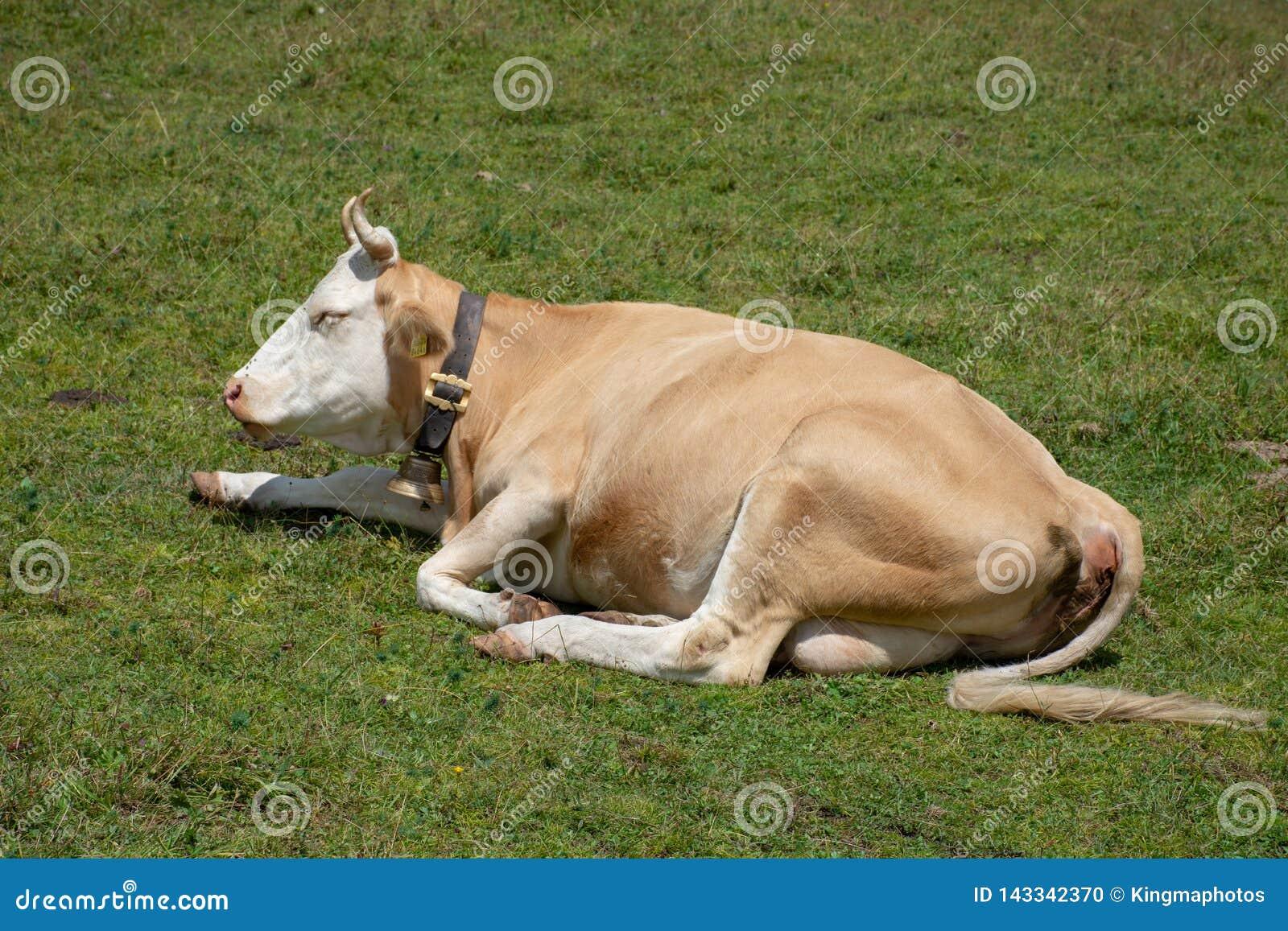 Uma vaca suíça que senta-se em um campo