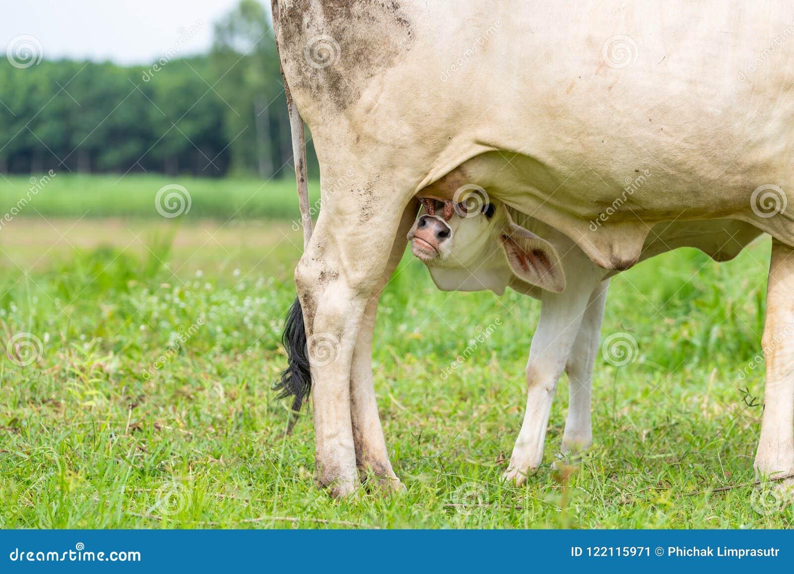 Uma vitela branca nova do brahman que tenta beber o leite
