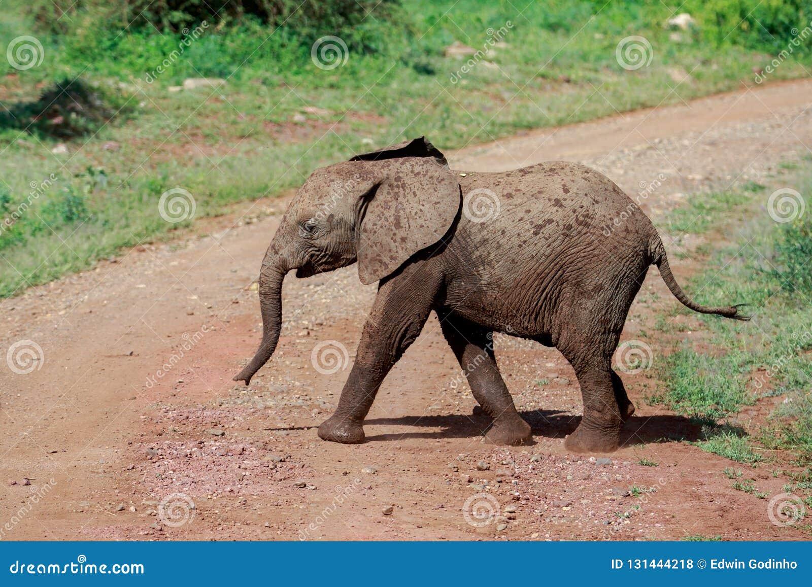 Uma vitela nova do elefante de Bush do africano que cruza a estrada