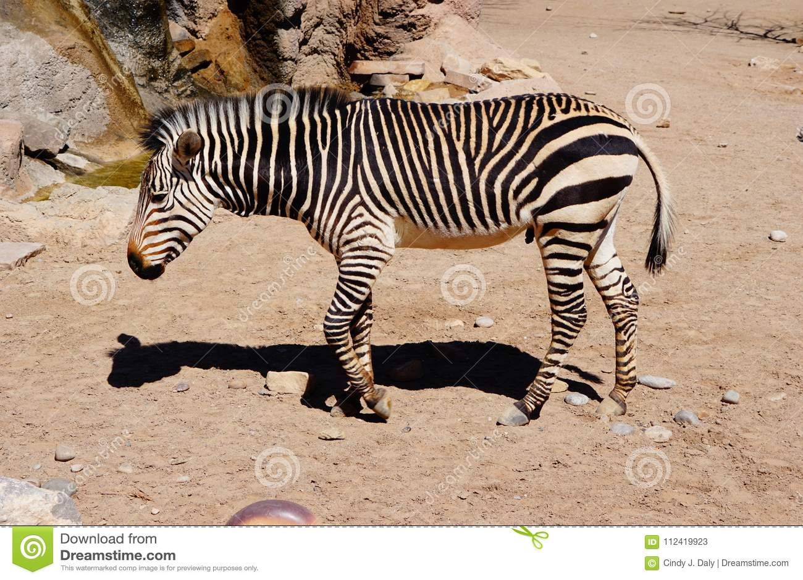 Uma zebra que anda no jardim zoológico de Albuquerque nanômetro