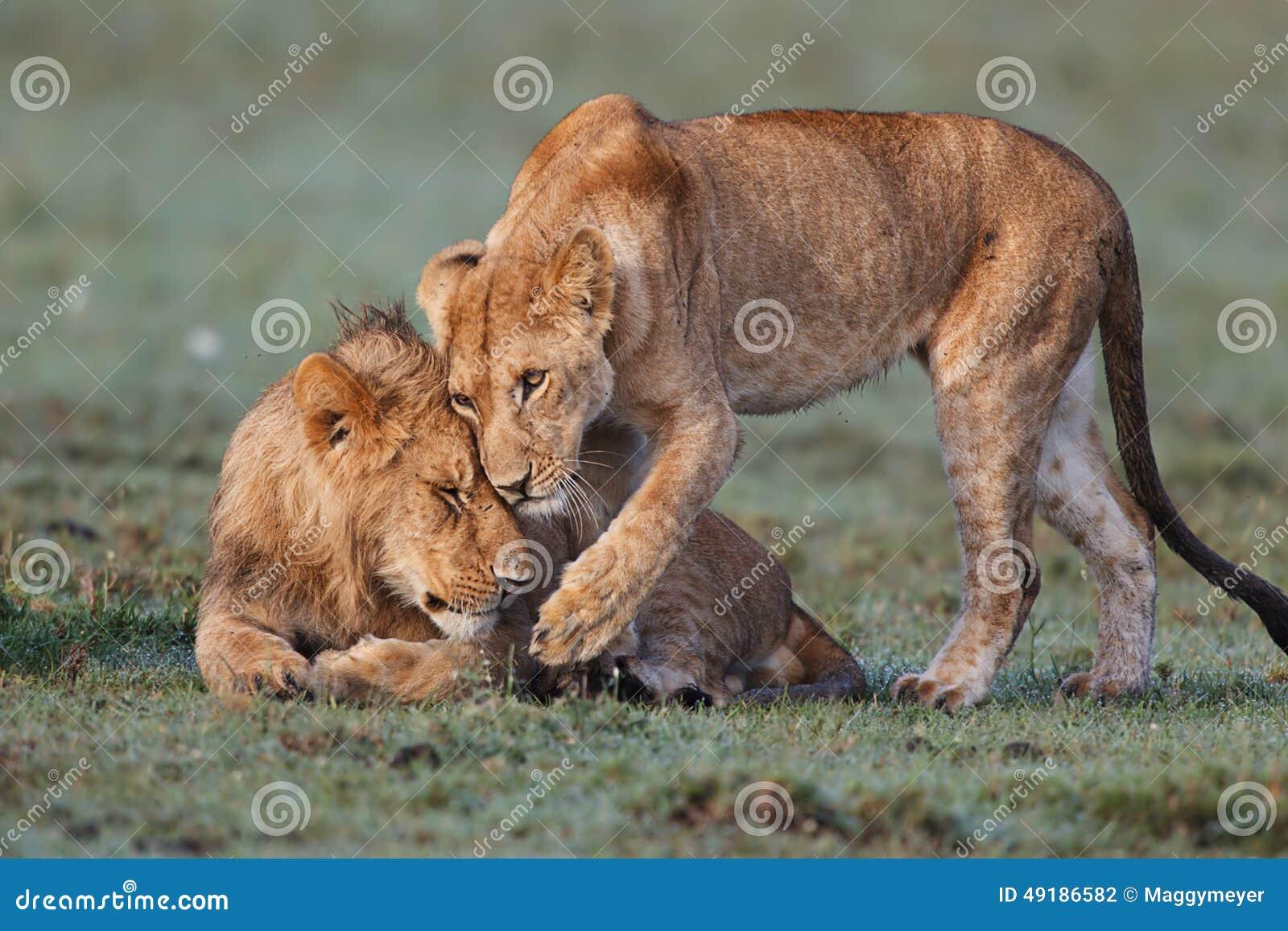 Umarmungs-Löwen auf Masai Mara
