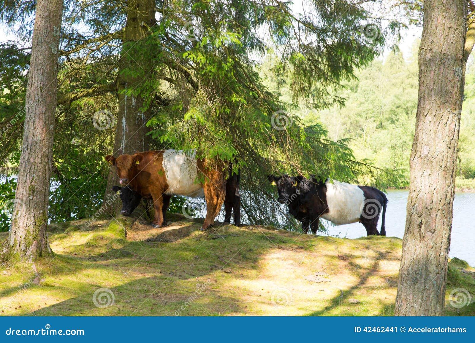 Umgeschnallte Galloway-Kuhzucht des Viehs