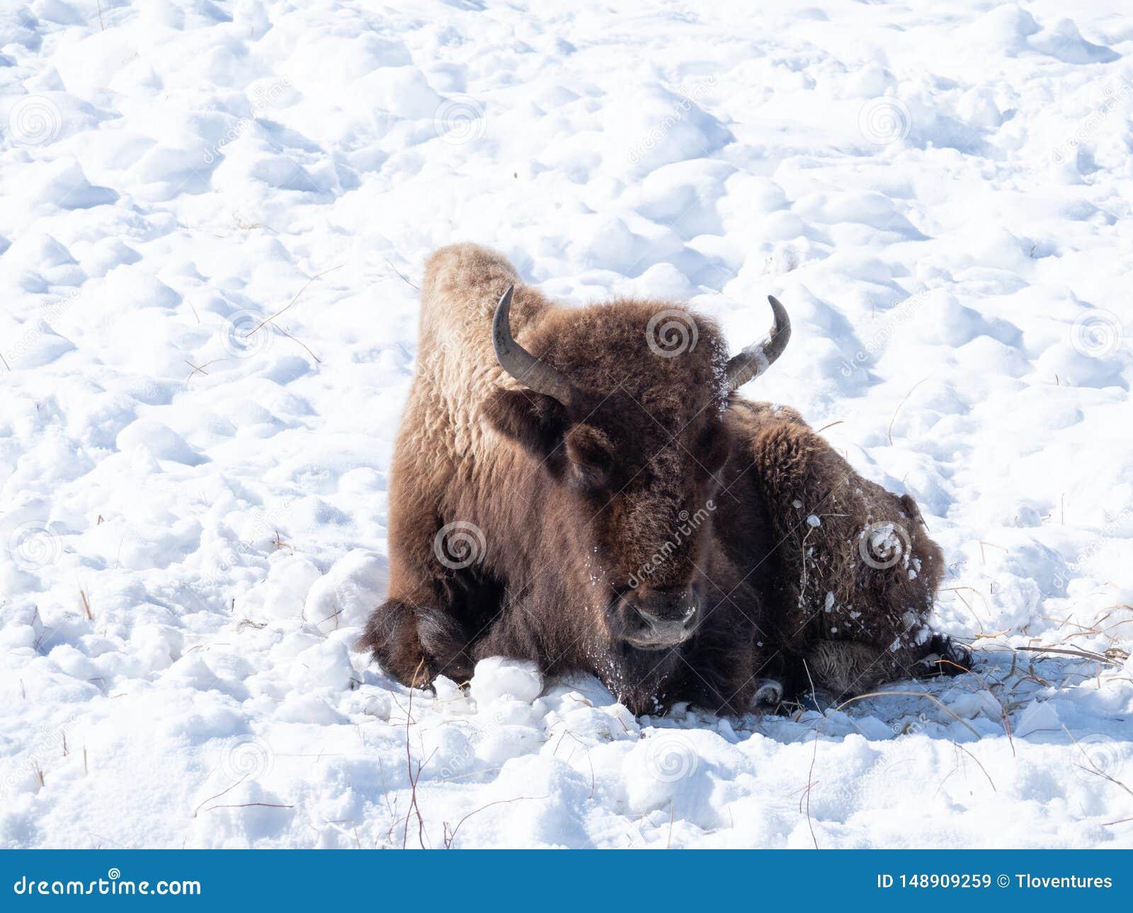 Umieraj?cy, G?oduj?cy Ameryka?ski ?ubr w Yellowstone parku narodowym