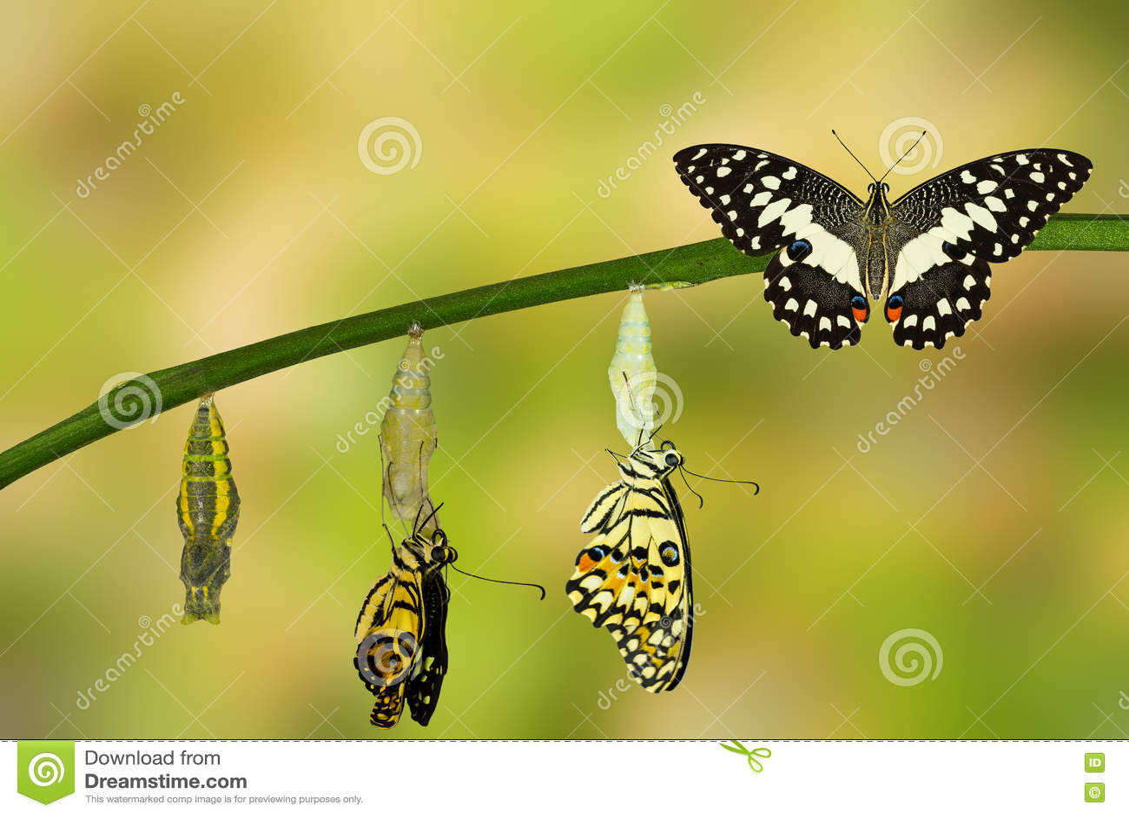 Umwandlung des Kalk-Schmetterlinges
