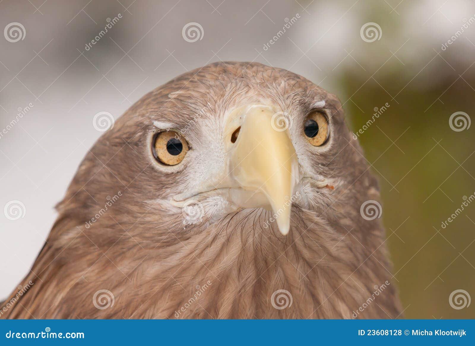 Un águila europea