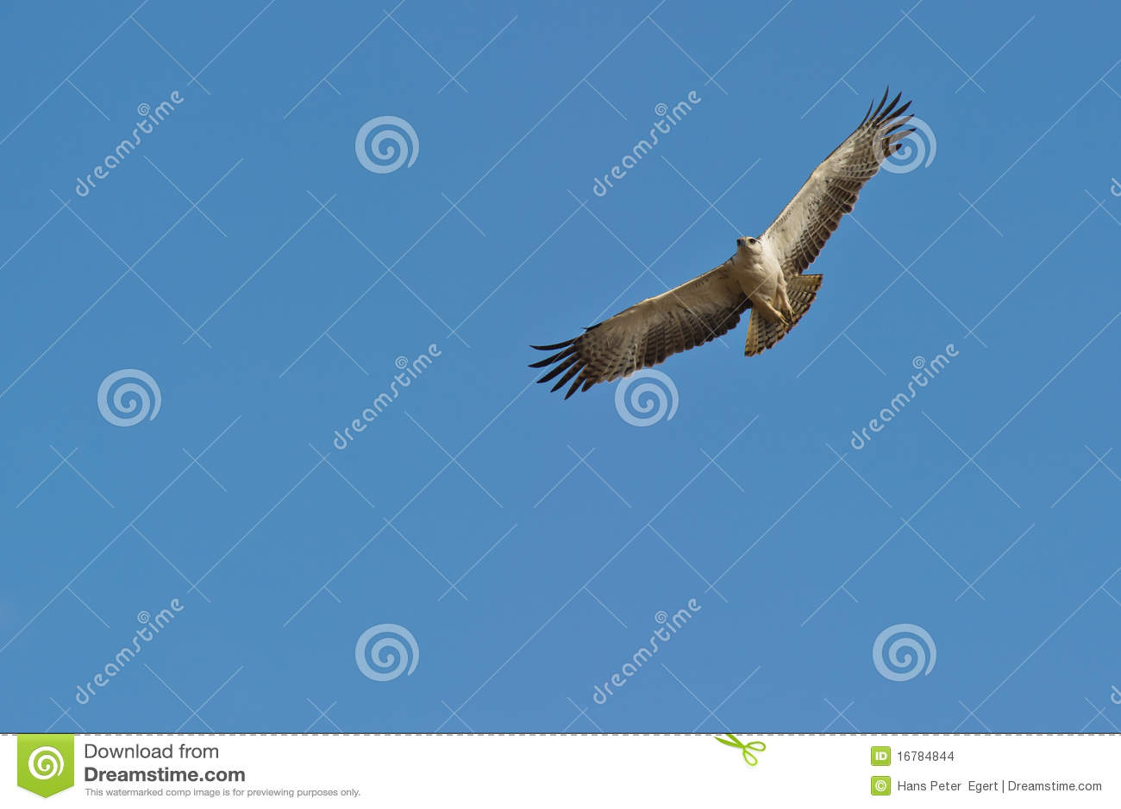 Un águila marcial juvenil en vuelo