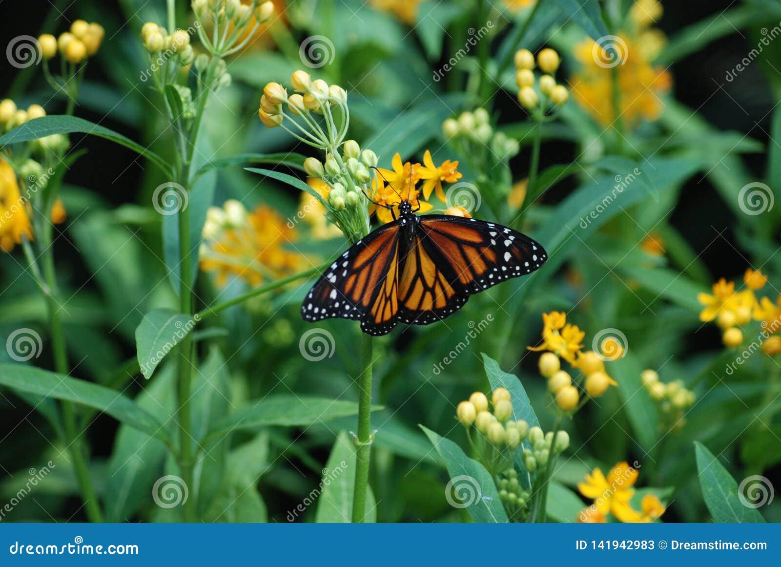 Un ángel de guarda - mariposa de monarca que alimenta en la flor amarilla