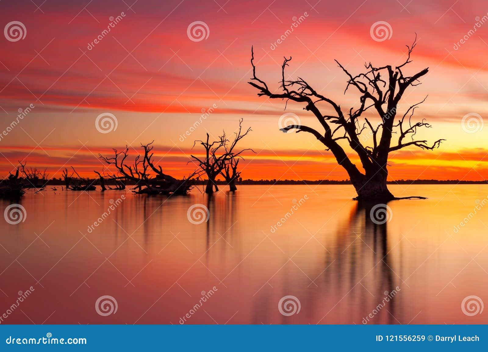 Un árbol muerto viejo icónico del redgum en el lago Bonney Barmera Aus del sur