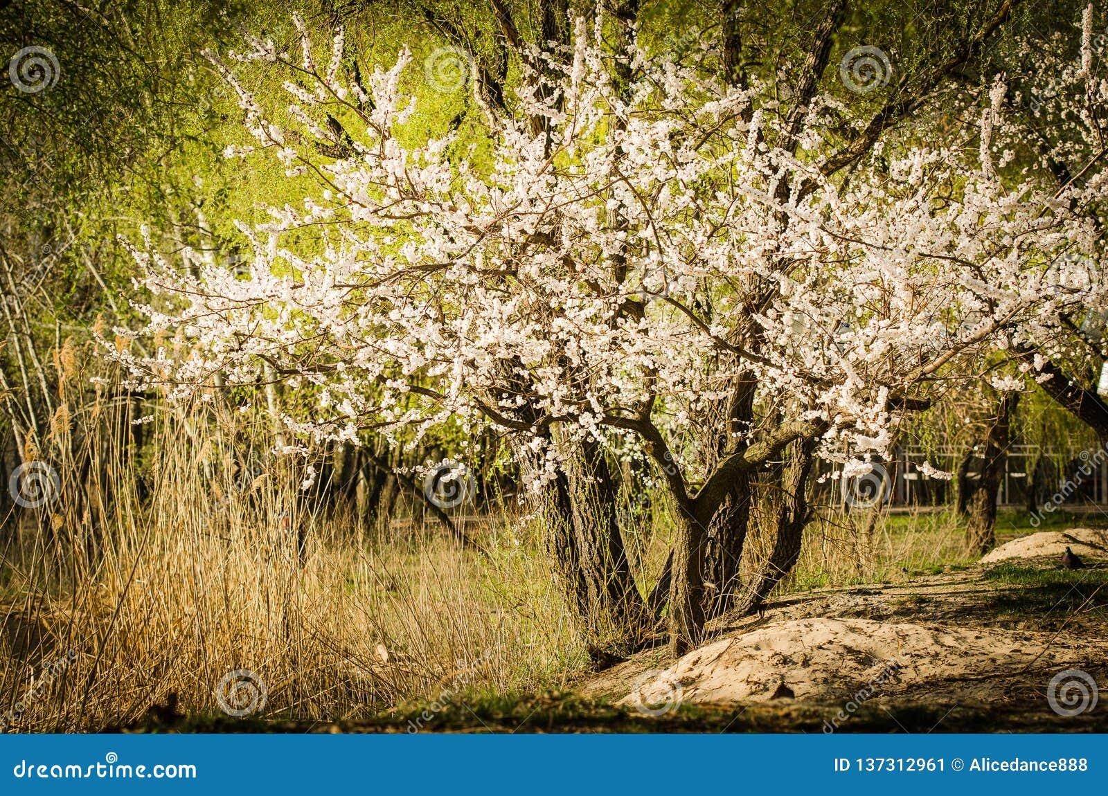 Un árbol punteado con las flores blancas en primavera