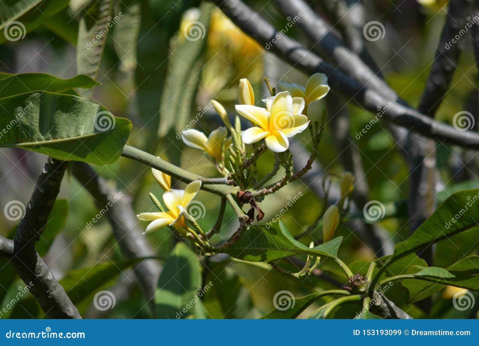 Un árbol tropical hermoso del Frangipani que está cercano hasta la flor floreciente