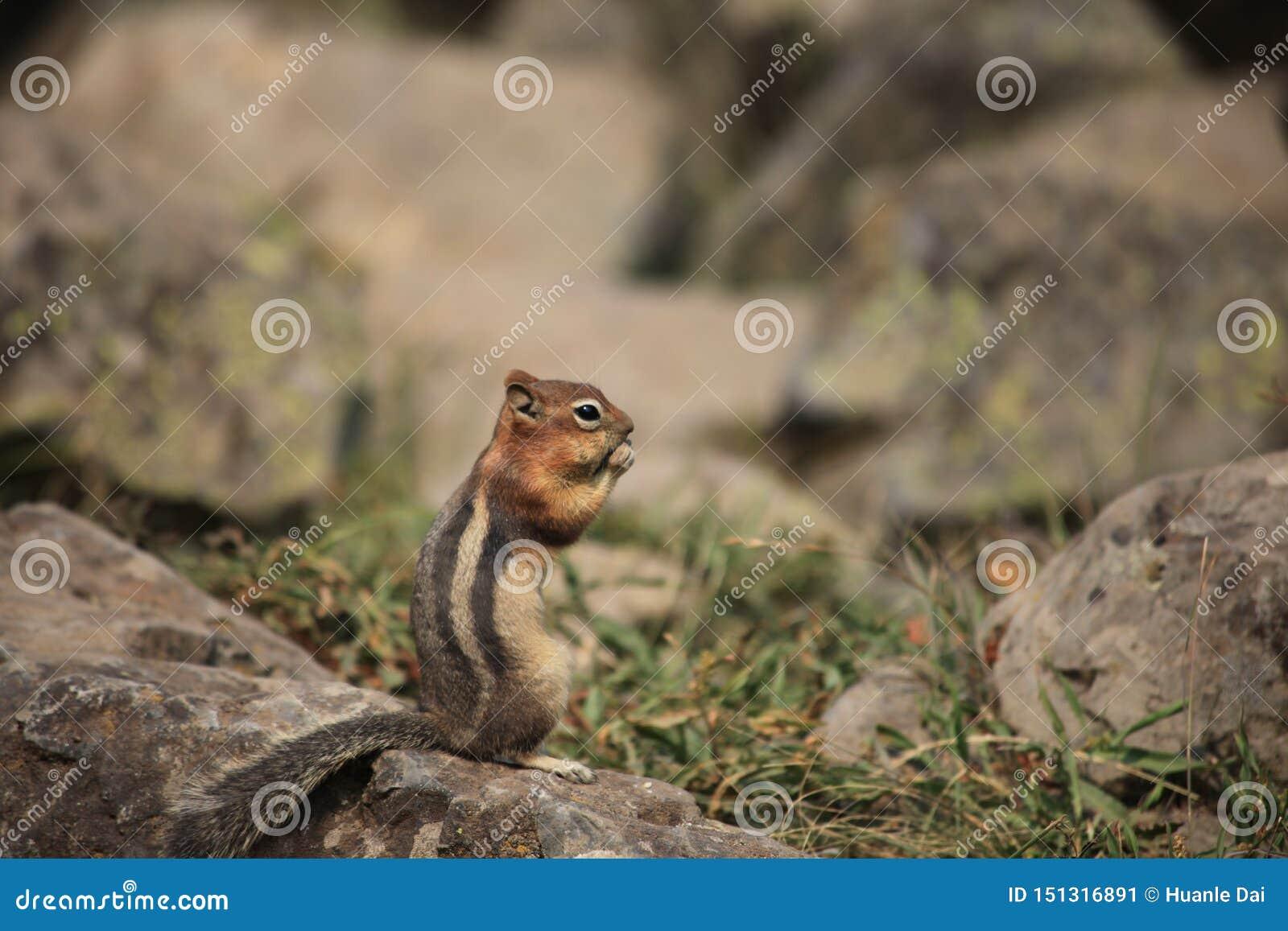 Un écureuil est support sur la roche, mangeant
