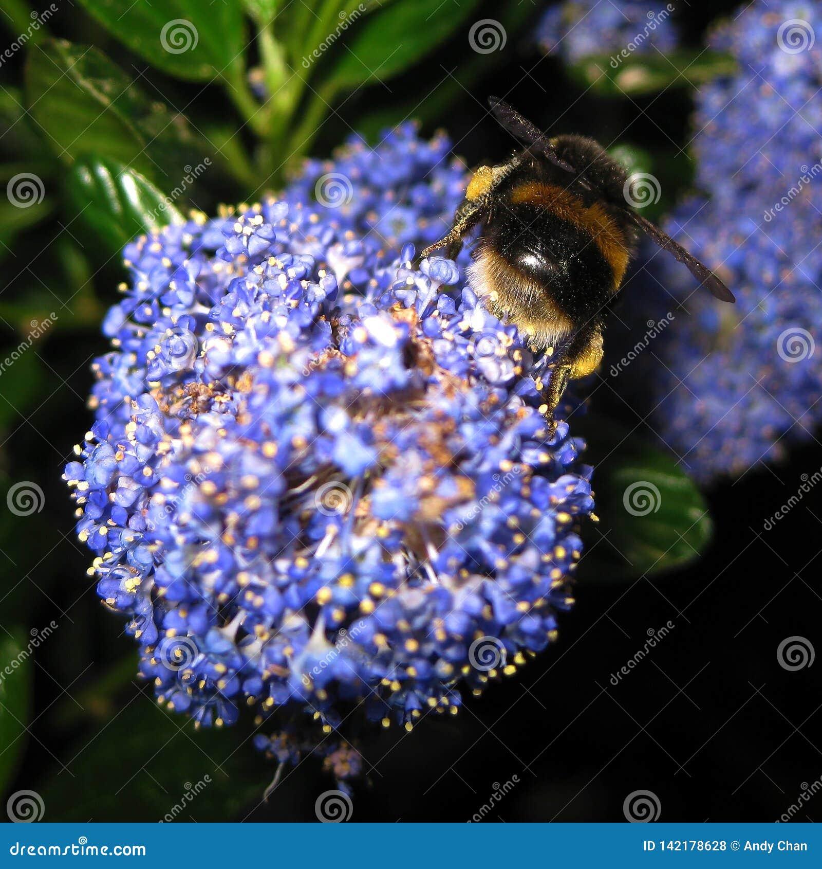 Un abejorro trabajador que busca y que recoge el polen y el néctar como comida de una flor púrpura en Hyde Park