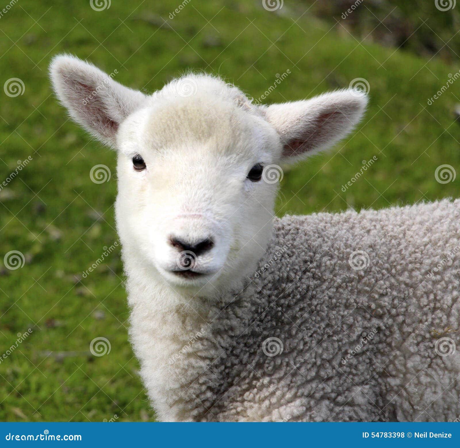 Un agneau mignon de bébé à la ferme