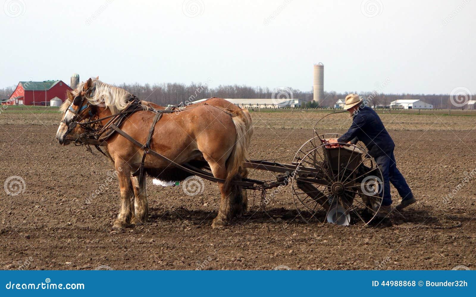 Un agricoltore anziano di Amish che semina i suoi campi