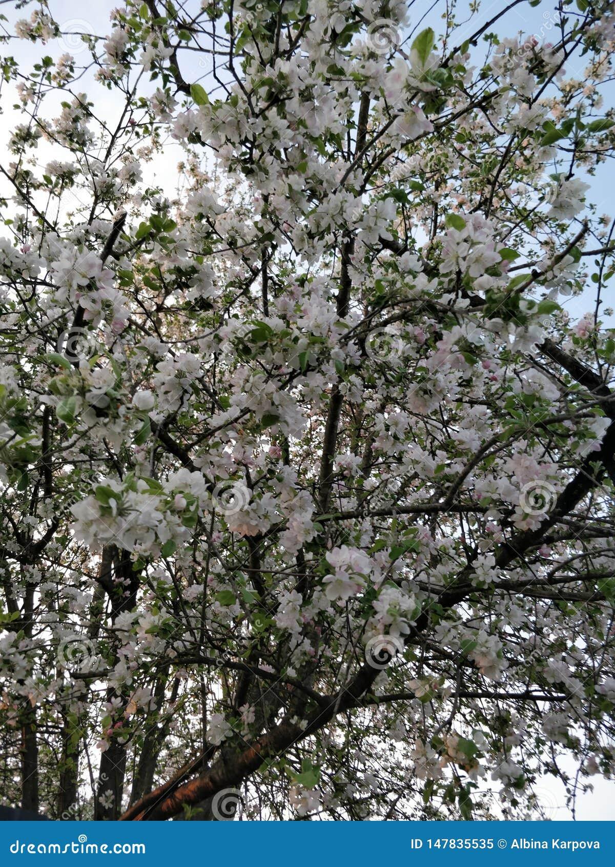 Un albero di fioritura in bianco, molla