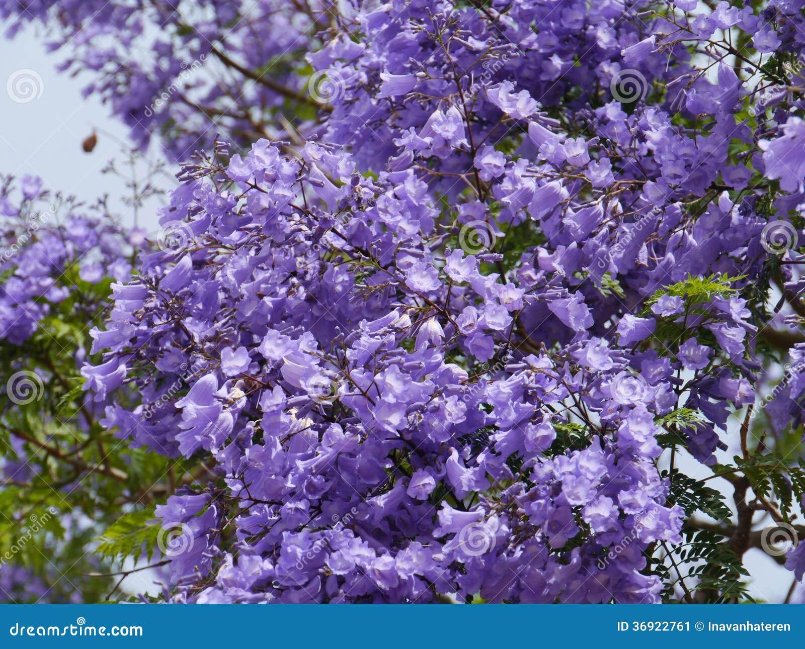 Albero Di Lillà un albero lilla australiano di jacarandra immagine stock