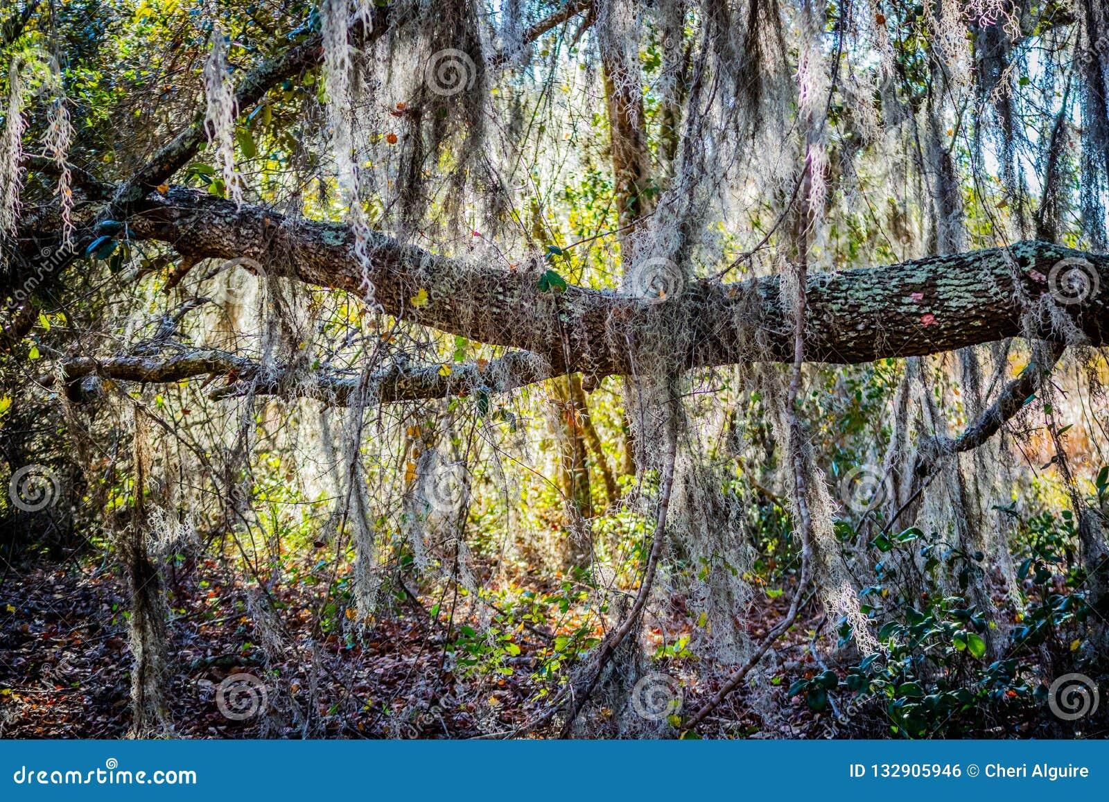 Un albero molto vecchio con i rami lunghi attacca a a Orlando, Florida