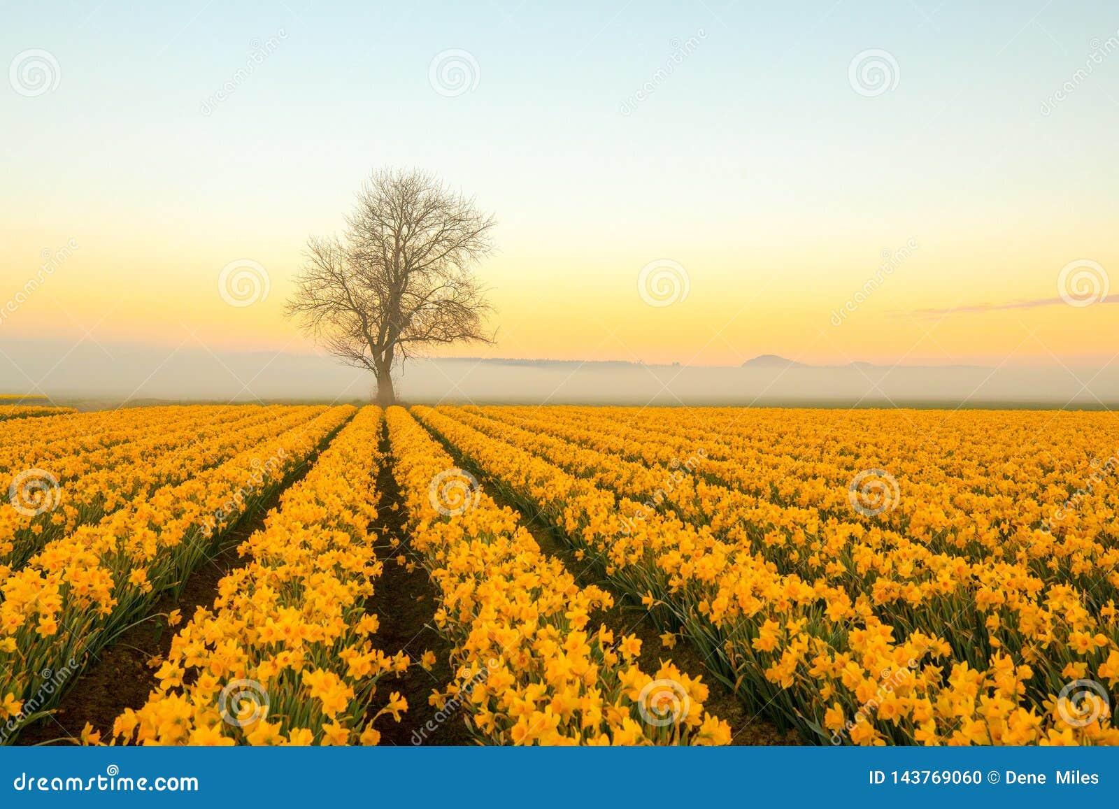Un albero solo con i narcisi su una mattina nebbiosa