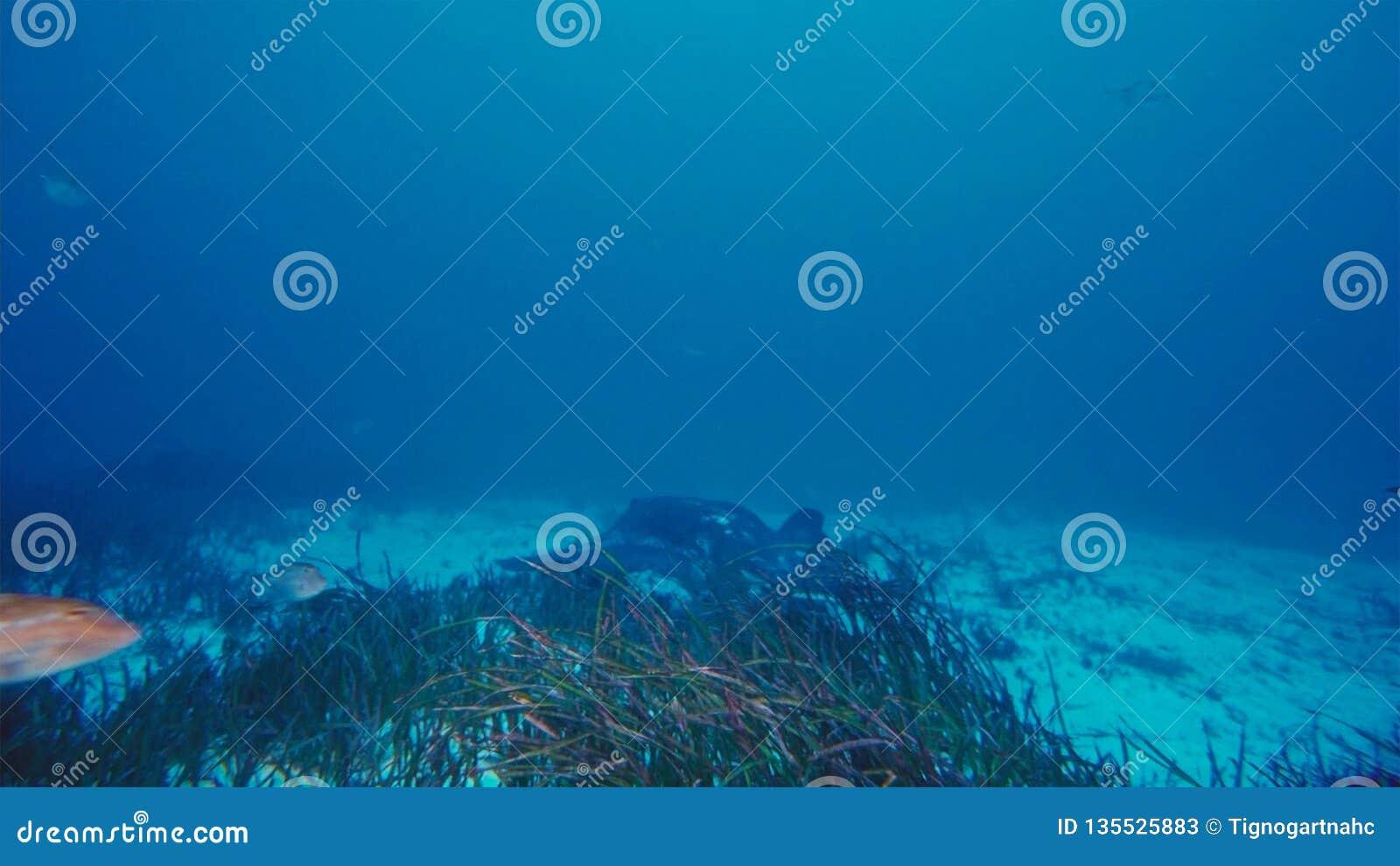 Un alfredi de Manta de rayon de Manta nage au-dessus d un sommet océanique en parc national de Komodo, Indonésie Des Mantas sont