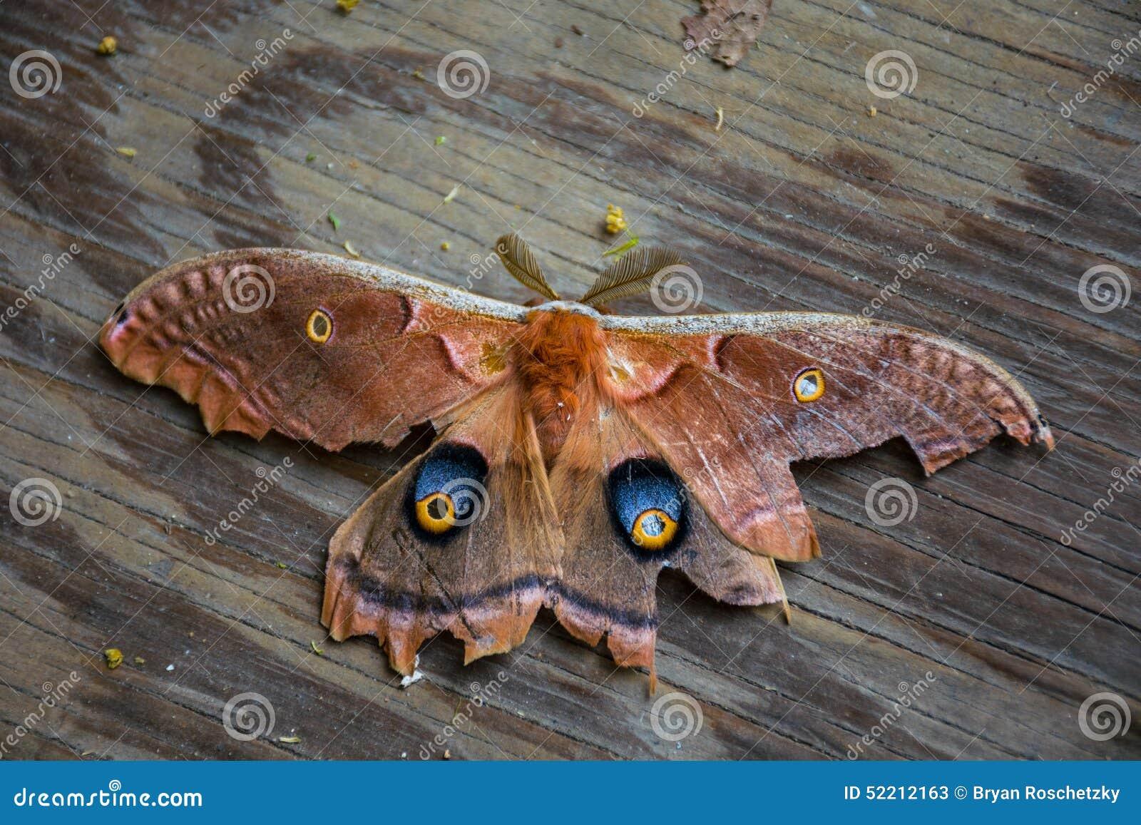 Un antheraea pernyi del lepidottero di seta di polyphemus