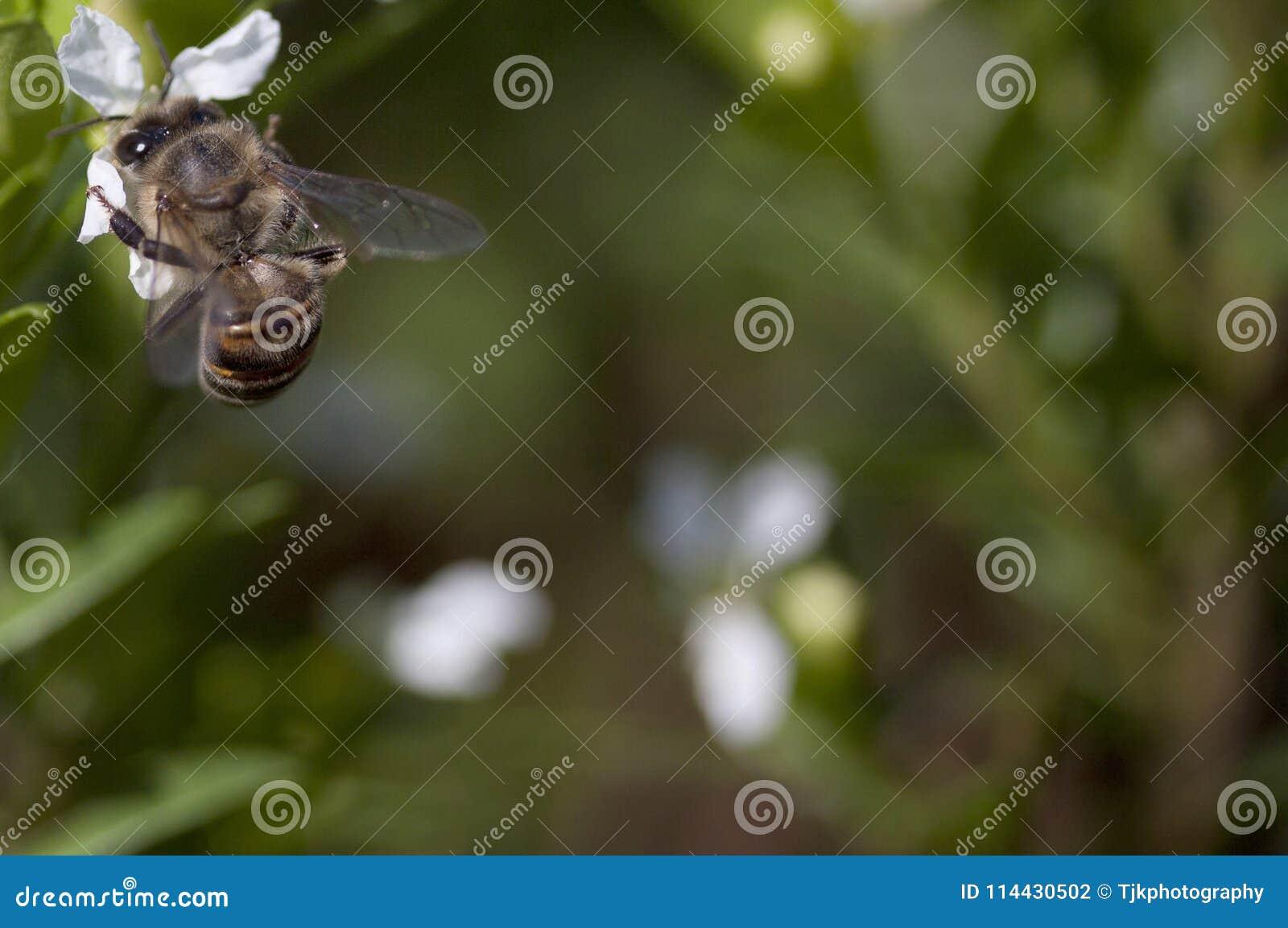 Un ape che si siede su un fiore bianco