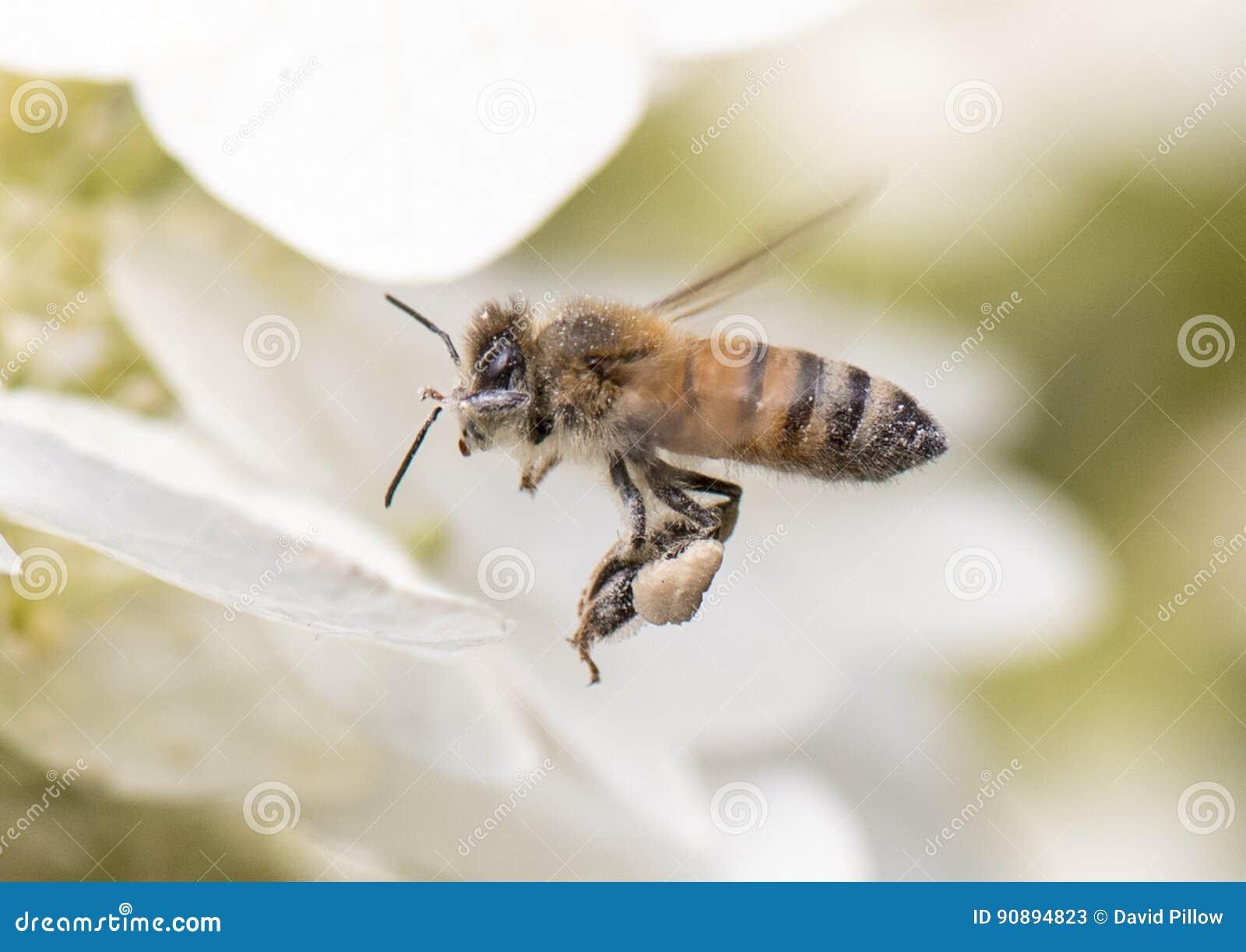 Un ape del miele caricata con polline