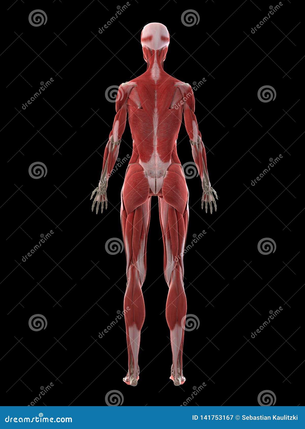 Un appareil musculaire de femelles