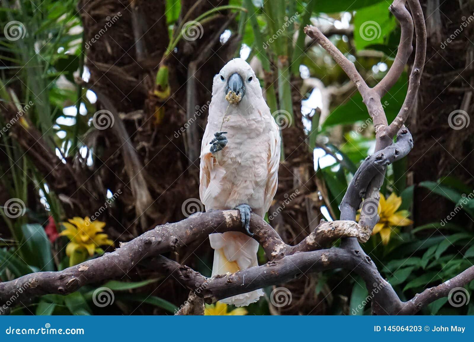 Un ara in un giardino tropicale, masticante su un fiore