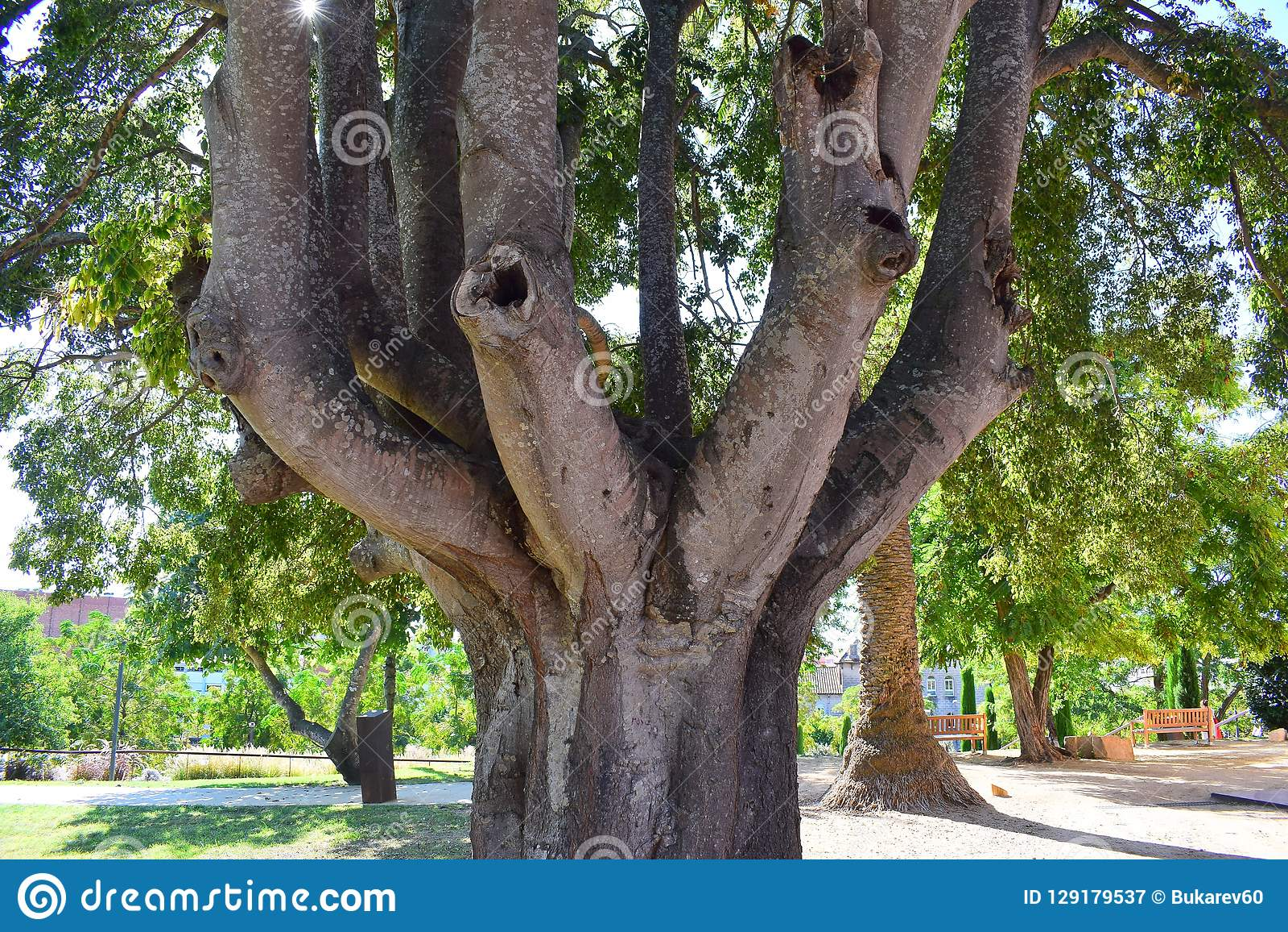 Un arbre étonnant avec plusieurs troncs se développe en parc