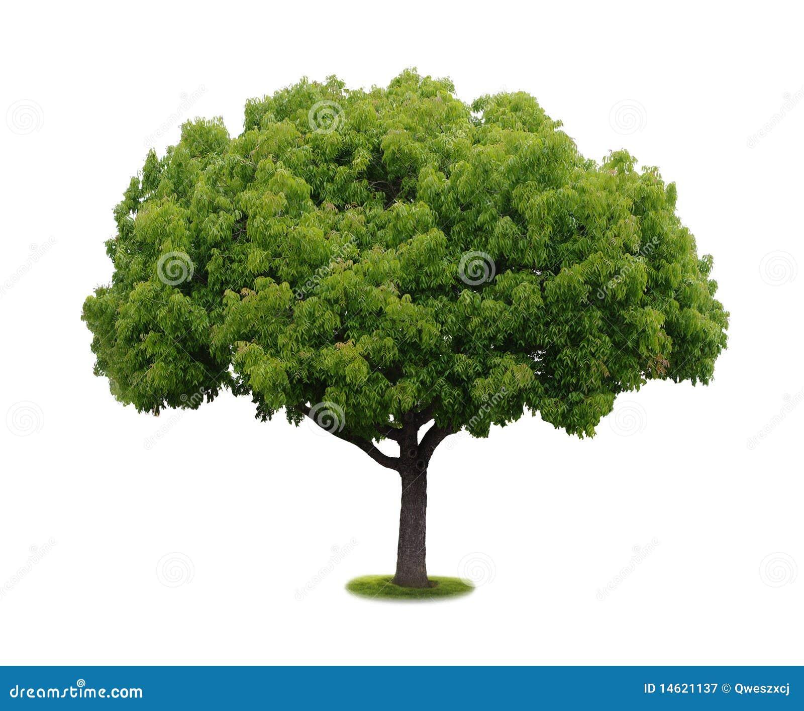 un arbre avec un fond blanc no6 image stock image du normal environnement 14621137. Black Bedroom Furniture Sets. Home Design Ideas