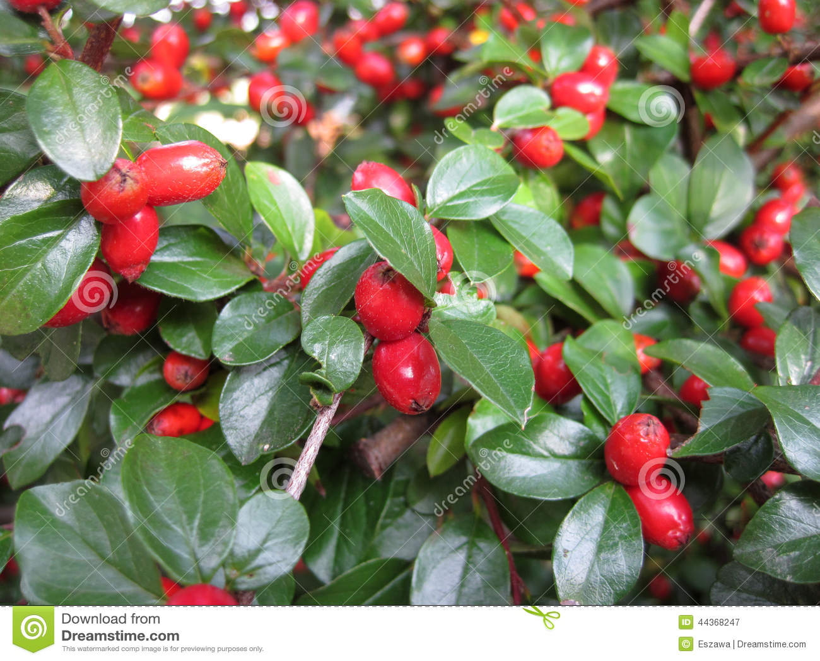 un arbuste avec les fruits rouges photo stock image 44368247. Black Bedroom Furniture Sets. Home Design Ideas