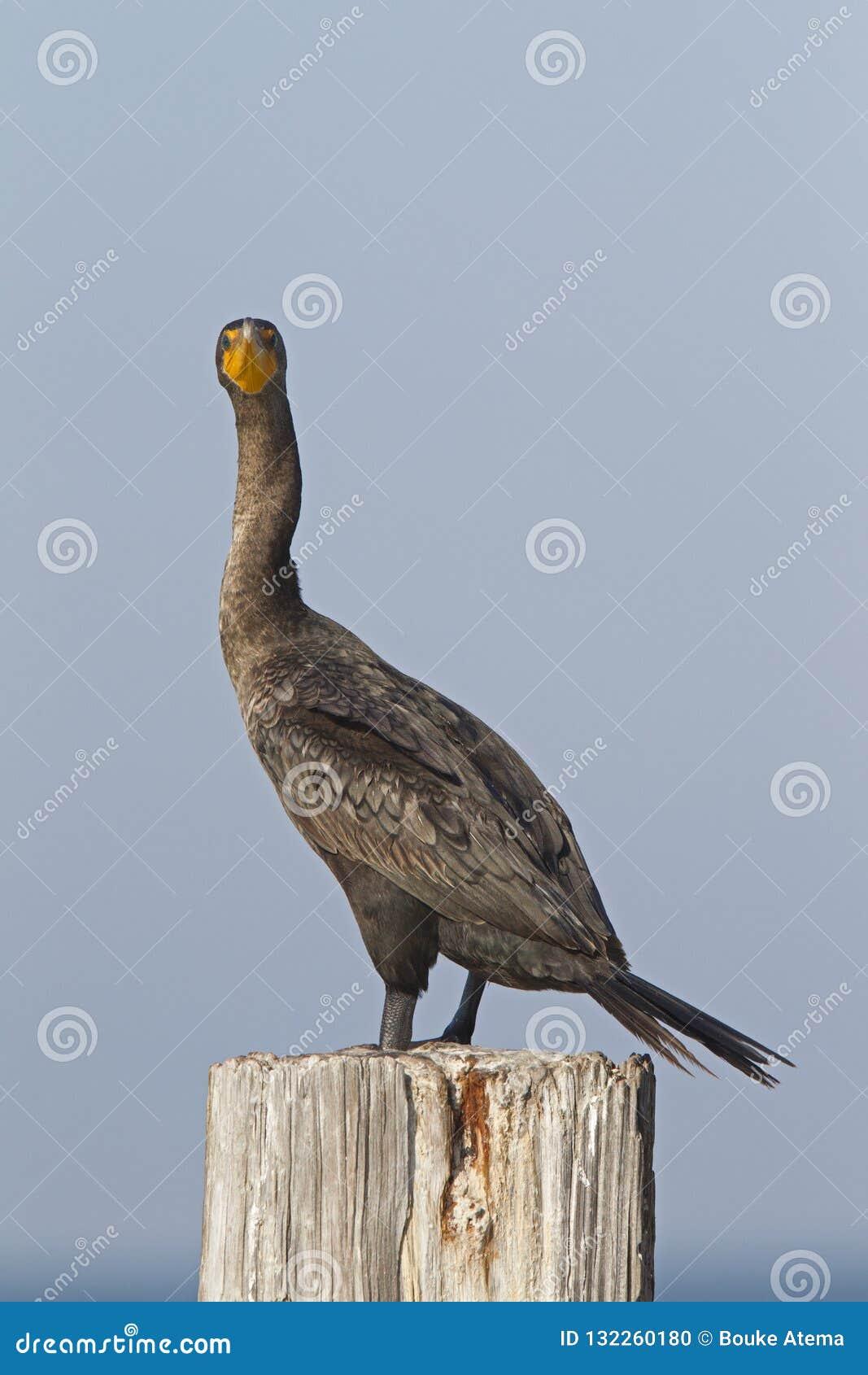 Un auritus double-crêté de Phalacrocorax de cormoran été perché sur un poteau en bois et apprécier la chaleur du soleil