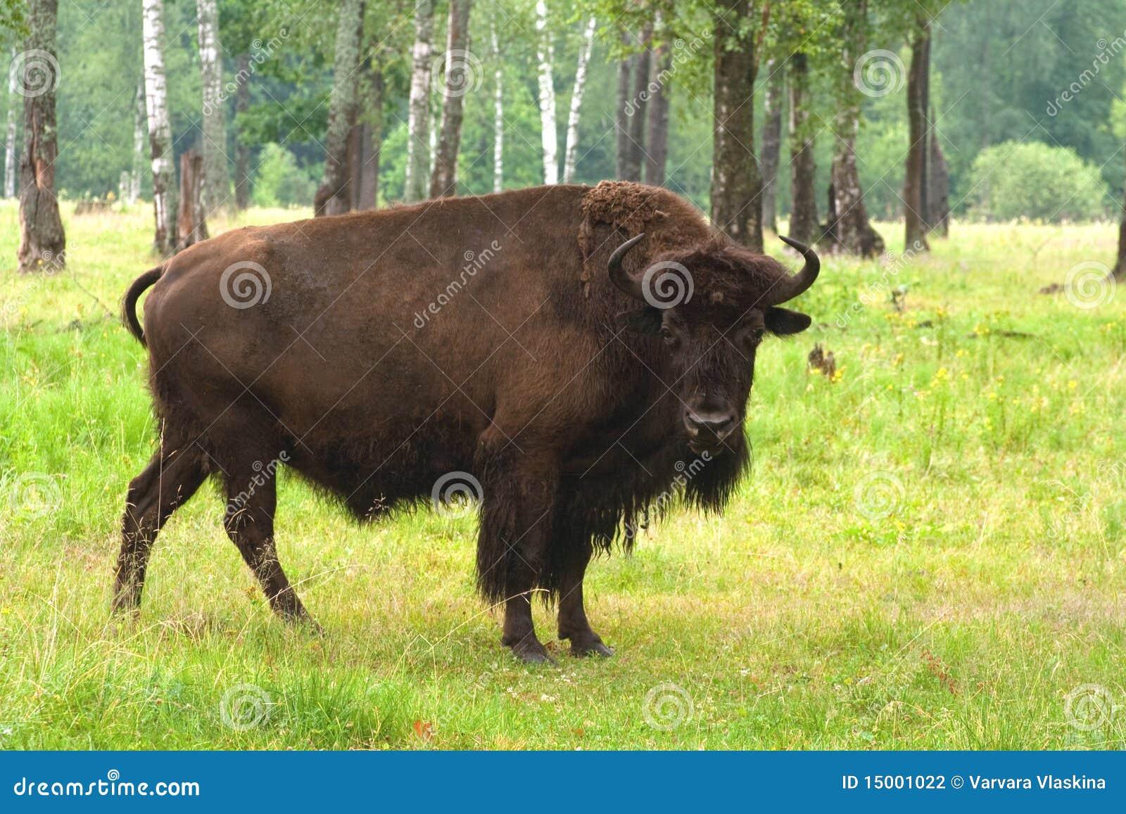 Un aurochs nella foresta di estate